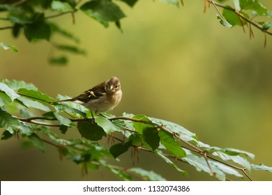 female common chaffinch (Fringilla coelebs) on the branch