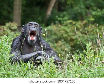 Female common chimpanzee screaming with open mouth.