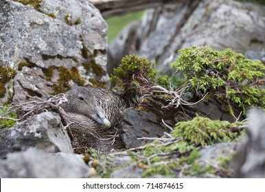 Female common eider on nest on ground, well camouflaged between gray stones.