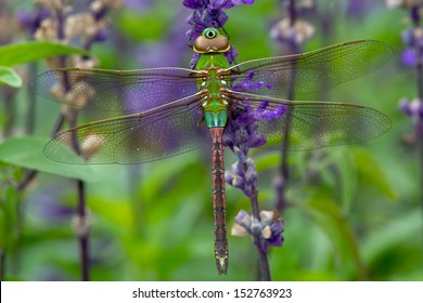 Female Common Green Darner Dragonfly perching on a purple flower. Rosetta McClain Gardens, Toronto, Ontario, Canada.
