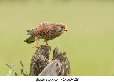 Female Common Kestrel perched on a post