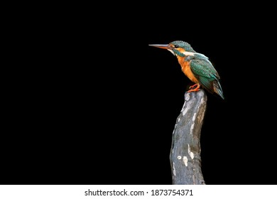 Female common Kingfisher perching on a old tree with black background.