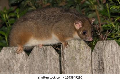 Female Common Ringtail Possum - Backyard possum in Woy Woy, NSW, Australia