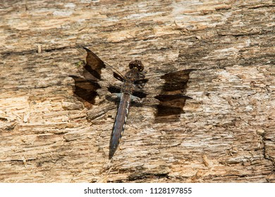 Female Common Whitetail Dragonfly resting on a rotting log. High Park, Toronto, Ontario, Canada.