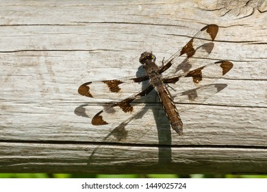 A female Common Whitetail Dragonfly is resting on a fence rail basking in the sun. Also known as a Long-tailed Skimmer. Taylor Creek Park, Toronto, Ontario, Canada.