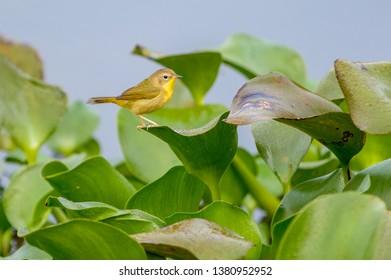 Female Common Yellowthroat behaviour, lake Catemaco, Veracruz, Mexico