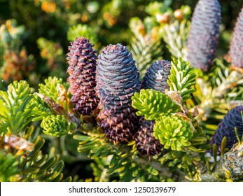 The female cones of the Korea fir sit on the top of the branches. The cones are always upright on the branch. Pine cones of a Korea fir, Abies koreana