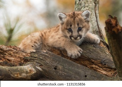 Female Cougar Kitten (Puma concolor) Perched in Tree - captive animal