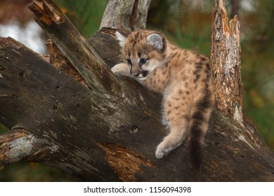 Female Cougar Kitten (Puma concolor) Dangles Leg - captive animal