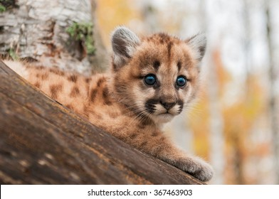 Female Cougar Kitten (Puma concolor) Looks Out - captive animal