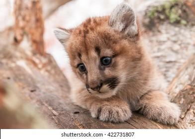 Female Cougar Kitten (Puma concolor) Snuggled in Tree - captive animal