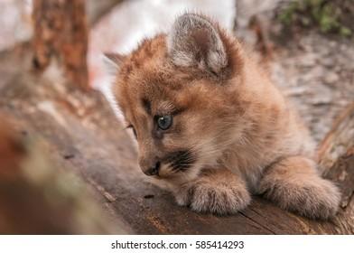 Female Cougar Kitten (Puma concolor) Closeup Profile - captive animal