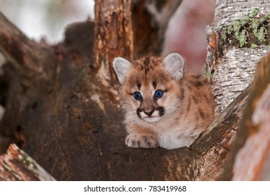 Female Cougar Kitten (Puma concolor) Sits Relaxed in Tree - captive animal
