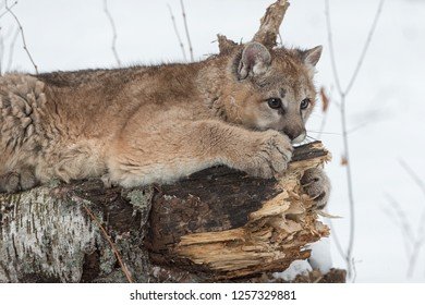 Female Cougar (Puma concolor) Claws at Log - captive animal