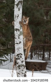 Female Cougar (Puma concolor) Clings to Tree - captive animal