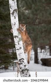 Female Cougar (Puma concolor) on Tree Trunk - captive animal