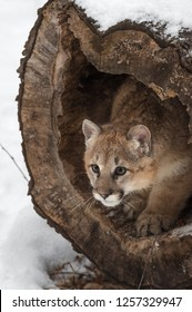 Female Cougar (Puma concolor) Prepares to Pounce Out of Log - captive animal