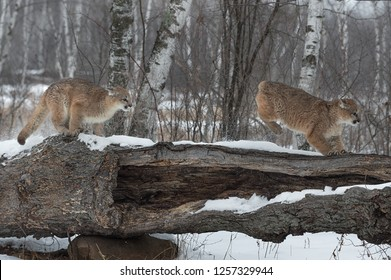 Female Cougars (Puma concolor) Chase Across Log - captive animals