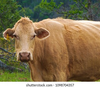 A Female Cow in a Pasture