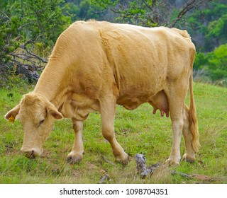 A Female Cow in a Pasture Grazing