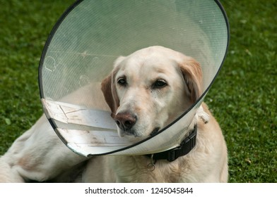 Female cream labrador dog wearing Elizabethan plastic cone medical collar around neck for anti-bite wound protection on green grass meadow