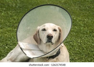 Female cream Labrador dog wearing Elizabethan plastic cone medical collar around neck