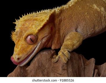 A female crested gecko is licking her lips while climbing on a jagged cliff.