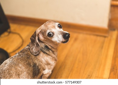 Female Dachsund dog with brown and white fur, buggy eyes, and snaggle-tooth lip. Cute dog. Funny dog. Comedy gold.Her name is Mina.