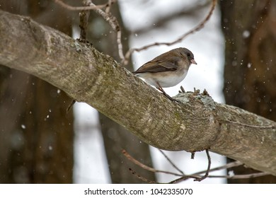 A female Dark-eyed Junco perches on a tree branch in late winter.