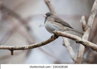 A female Dark-eyed Junco - Slate-colored subspecies - is perched on a branch. Taylor Creek Park, Toronto, Ontario, Canada.