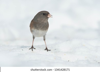 A female Dark-eyed Junco- Slate-colored subspecies - is standing in the snow eating a seed that has been left. Lambton Woods Park, Toronto, Ontario, Canada.