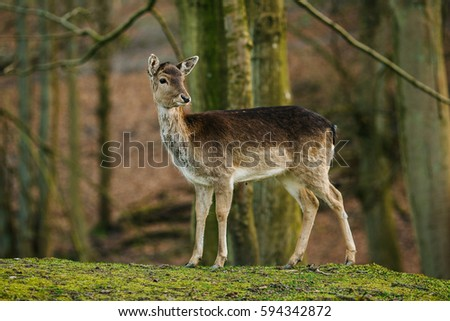 Female Deer in a beautiful forest in Denmark, Europe