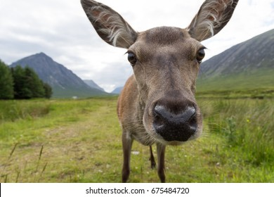 A female deer close up to camera, Glencoe Scotland UK