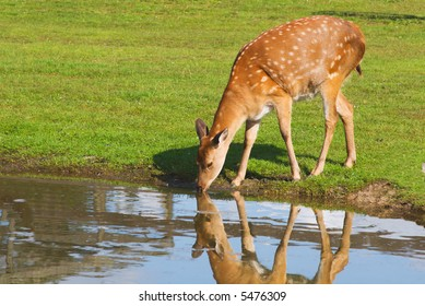 female deer drinking water from the pond on sunny day