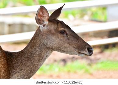 Female deer / Eld's deer thamin , Brow-antlered deer wildlife in the farm