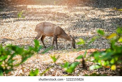 Female deer / Eld's deer thamin eating feed / Other names Eld's deer, Thamin, Brow-antlered deer in the wildlife sanctuary