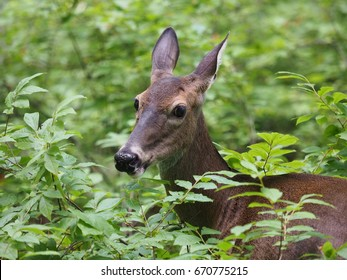 female deer, great smoky mountains national park