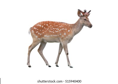 female deer isolated in white background