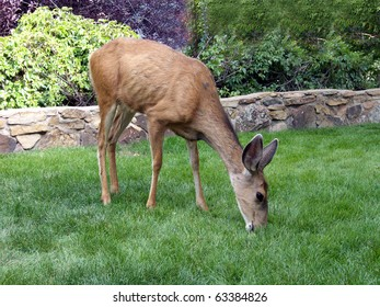 Female deer nibbling with contentment on the lush green grass