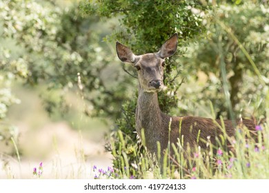 Deer Pregnancy High Res Stock Images Shutterstock