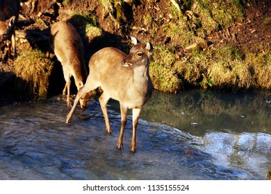 a female deer standing in a river