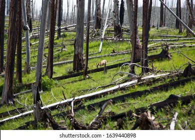 A female deer stands on a hillside in the green grass and among trees that have died from a past wildfire at Yellowstone National Park, Wyoming.