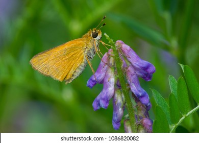 Female Delaware Skipper Butterfly collecting nectar from a cow vetch flower. Todmorden Mills, Toronto, Ontario, Canada.