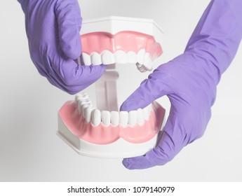 Female dentist hand in medical purple gloves holding teeth model
