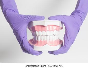 Female dentist hand in medical purple gloves holding teeth model.
