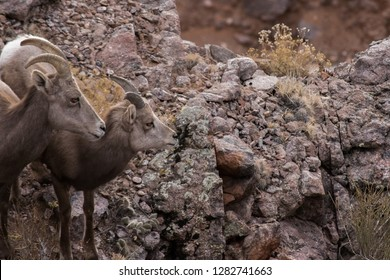 Female Desert Bighorn Sheep and her offspring standing next to each other on cliff