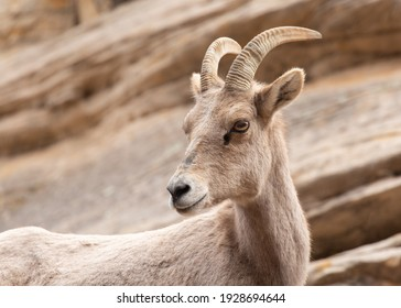 A female desert bighorn sheep turns it's head to look over it's shoulder with a steep slickrock slope in the background.