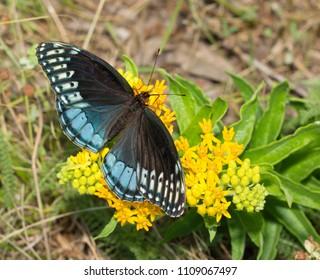 Female Diana Fritillary, Speyeria diana, feeding on yellow butterflyweed