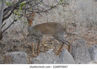 Female dik dik in the African bushes