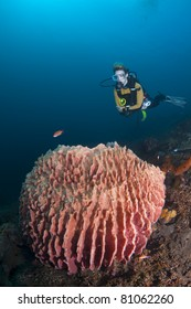 Female diver hovering over a large barrel sponge, at Bali, Indonesia